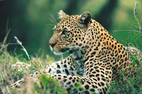 l'Afrique du Sud léopard © lernidee.de